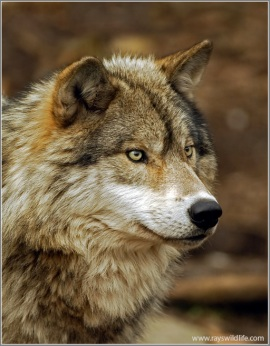 Timber Wolf by Ray