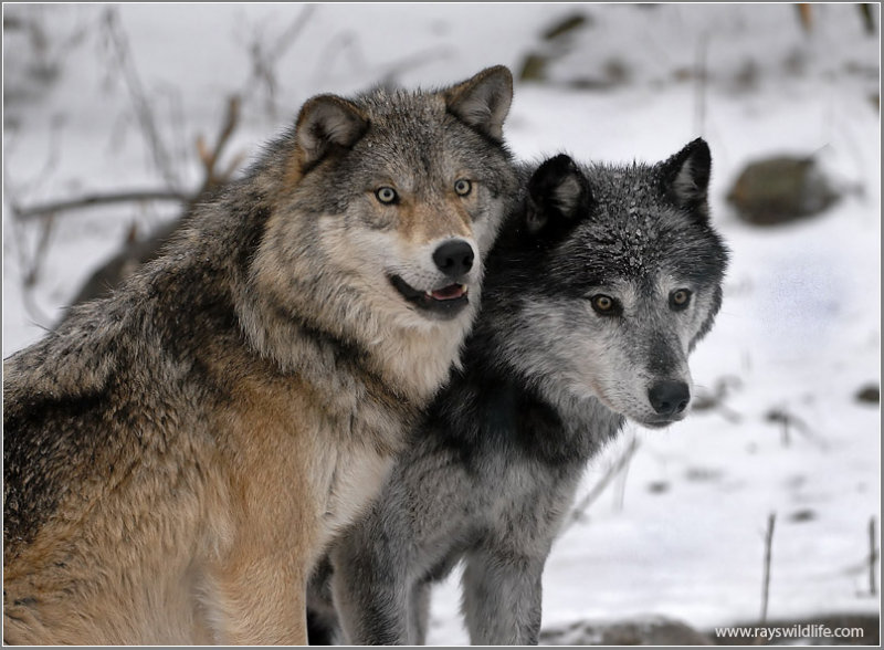 Timber Wolves by Ray