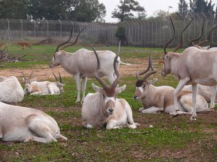 Herd of Addax: note how the horns of one animal at rest on the right appear to be joined as one horn©Wikipedia