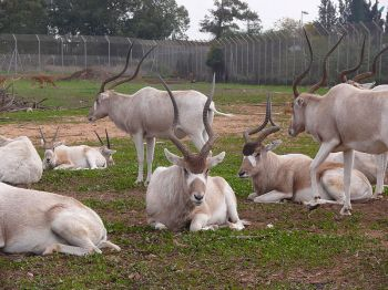 Herd of Addax: note how the horns of one animal at rest on the right appear to be joined as one horn.