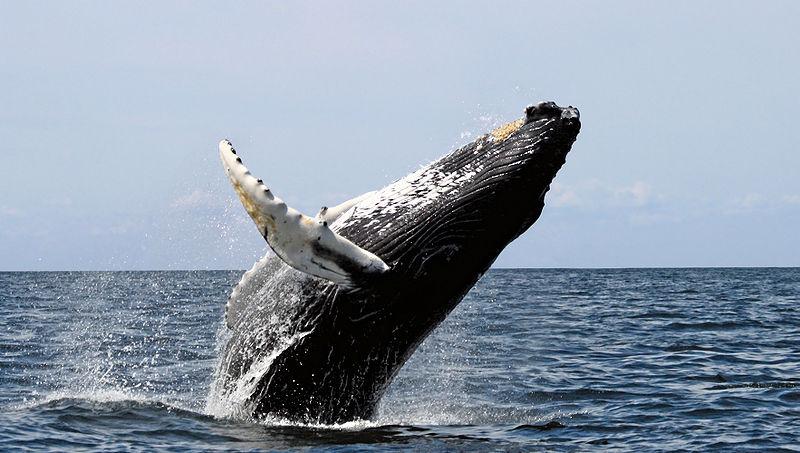Humpback Whale breaching ©Wikipedia