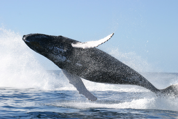 Humpback whale jumping©WikiC