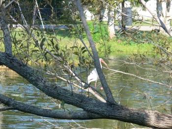 Testing Camera on a White Ibis