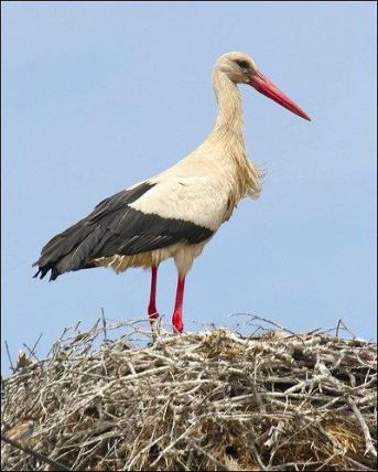 White Stork (Ciconia ciconia) by Ian