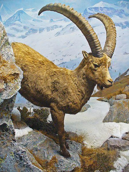 Ibex Goat Scripture Alpha...
