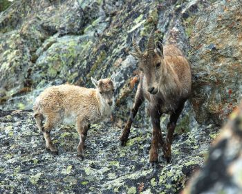 Wild Goat - Ibex and young ©WikiC
