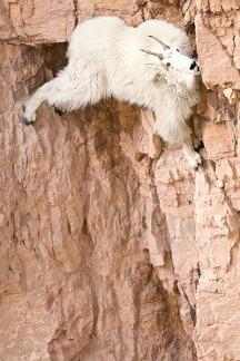 Wild Goats - Hang on ©wildphotons