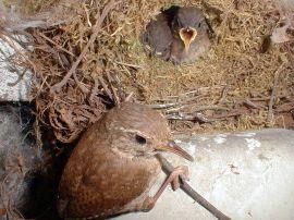 Winter Wren Female and chick ©Wikipedia