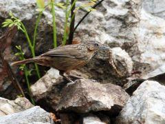 Limestone Wren-Babbler (Napothera crispifrons) by Peter Ericsson