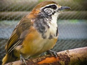 Greater Necklaced Laughingthrush (Pterorhinus pectoralis