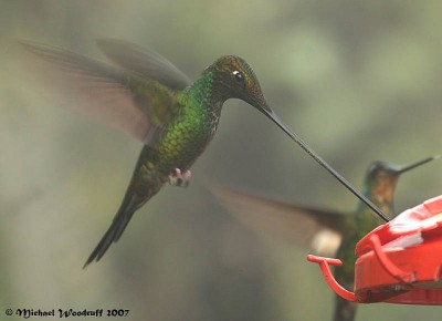 Sword-billed Hummingbird (Ensifera ensifera) by Michael Woodruff