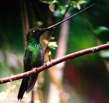 Sword-billed Hummingbird (Ensifera ensifera)©WikiC