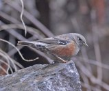 Alpine Accentor (Prunella collaris) by Nikhil Devasar
