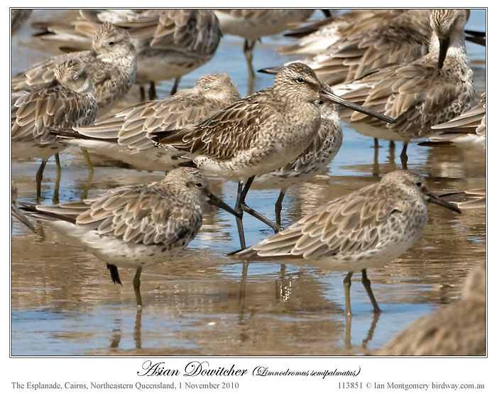 three Asian Dowitchers