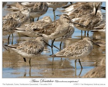 Asian Dowitcher (Limnodromus semipalmatus) by Ian