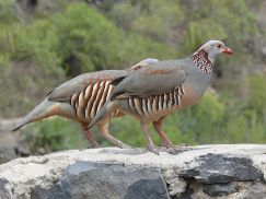 Barbary Partridge (Alectoris barbara)©WikiC