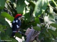 Black-girdled Barbet (Capito dayi) ©CC