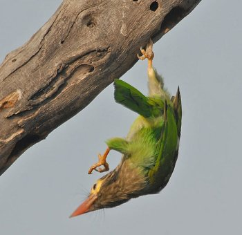 Brown-headed Barbet (Megalaima zeylanica) by Nikhil Devasar