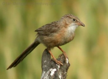 Common Babbler (Turdoides caudata) by Ian