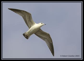 Common Gull (Larus canus) by Robert Scanlon