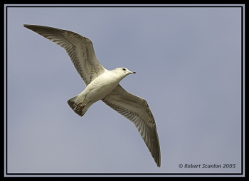 Common Gull (Larus canus) by Robert Scanlon