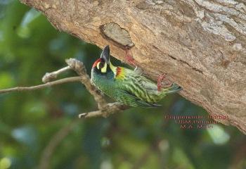 Coppersmith Barbet (Megalaima haemacephala) by MAMuin