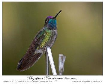 Magnificent Hummingbird (Eugenes fulgens) by Ian