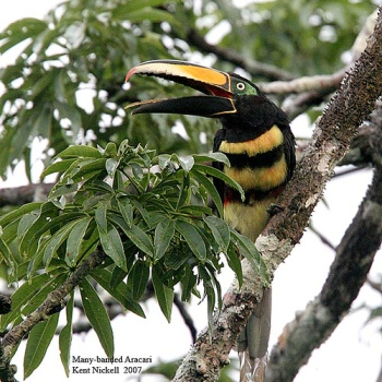 Many-banded Aracari (Pteroglossus pluricinctus) by Kent Nickel