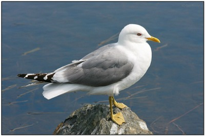 Mew Gull (Larus canus) by Daves BirdingPix