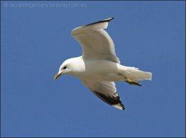 Mew Gull (Larus canus) by Ian