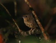 Pygmy Wren Babbler (Pnoepyga pusilla) by Peter Ericsson