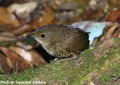 Pygmy Wren-babbler (Pnoepyga pusilla) ©©