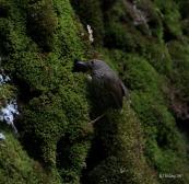 Scaly-breasted Wren-babbler (Pnoepyga albiventer) ©WikiC