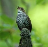 Scaly-breasted Wren-babbler (Pnoepyga albiventer) ©©