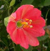Passiflora mixta galupa - Suncrest Nurseries