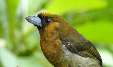 Prong-billed Barbet (Semnornis frantzii) ©CC