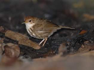 Puff-throated Babbler (Pellorneum ruficeps) by Nikhil Devasar