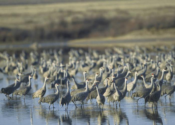 Sandhill Crane (Grus canadensis) flock ©USFWS