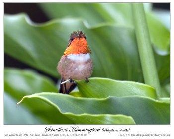 Scintillant Hummingbird (Selasphorus scintilla) by Ian