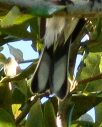 Myrtle Warbler (Dendroica coronata) White spots in tail