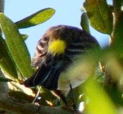Myrtle Warbler (Dendroica coronata) Bright yellow rump