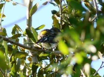 Myrtle Warbler (Dendroica coronata)
