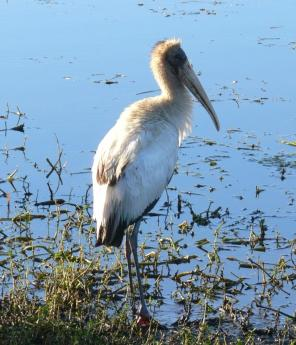 Wood Stork (Mycteria americana) by Lee