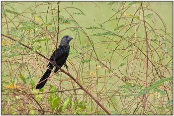Smooth-billed Ani (Crotophaga ani) by Daves BirdingPix
