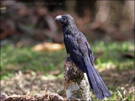Smooth-billed Ani (Crotophaga ani) by Ian