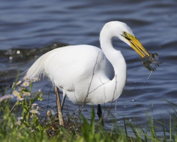 Western Great Egret (Ardea alba) With Fish by AestheticPhotos