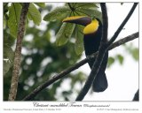 Chestnut-mandibled Toucan (Ramphastos swainsonii) by Ian