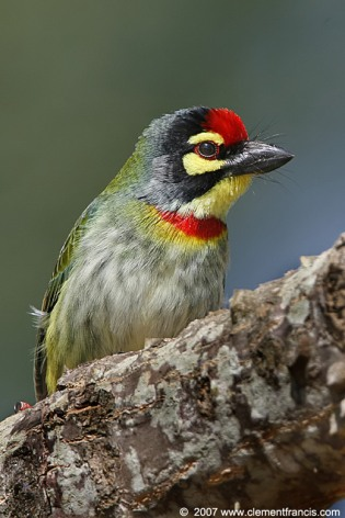 Coppersmith Barbet (Megalaima haemacephala) by Clement Francis