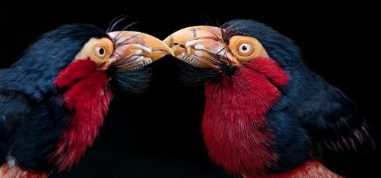 Bearded Barbet (Lybius dubius) ©© Passing food