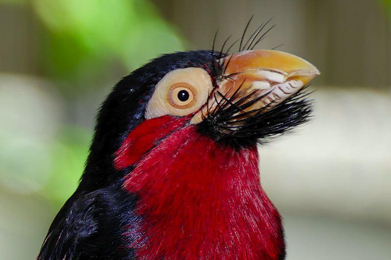 Bearded Barbet (Lybius dubius) ©WikiC Head